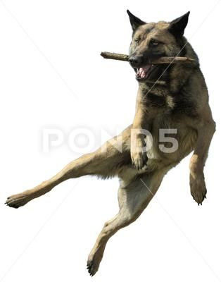 Dog In a Jump With a Stick Isolated on White ~ Premium Photo #76605034