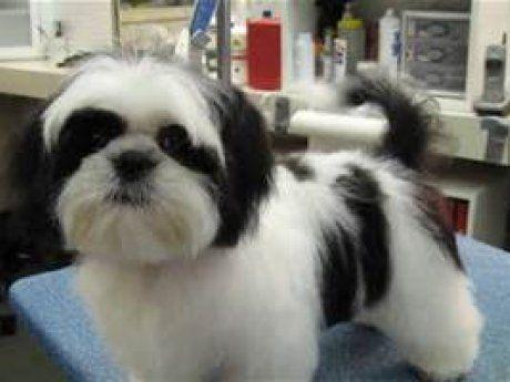 Kf Checkers Charming Black White Akc Male Shih Tzu Puppy Black And White Teddy Bear Puppy Teddy Bear Dog C In 2020 Shih Tzu Puppy Shih Tzu Grooming Shih Tzu Haircuts