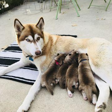 Litter Of 5 Siberian Husky Puppies For Sale In La Mesa Ca Adn 59891 On Puppyfinder Com Gender Male S And Husky Puppies For Sale Siberian Husky Puppies Dogs