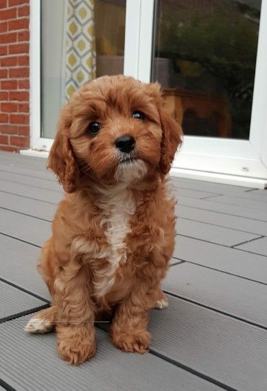 Waiting List For F1health Tested Red Cavapoo Pups With Images Cavapoo Puppies Cavapoo Pup