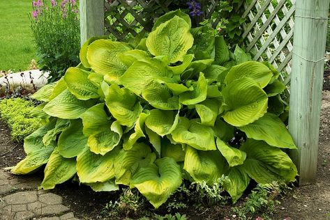 Hosta 'Sum and Substance' is one of the most easily recognized of the giant hostas and a beast at 36 inches tall and over 6 feet wide!