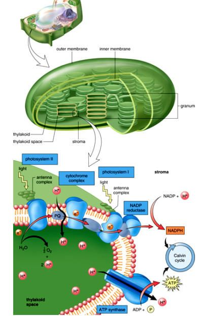 Photosynthesis under construction