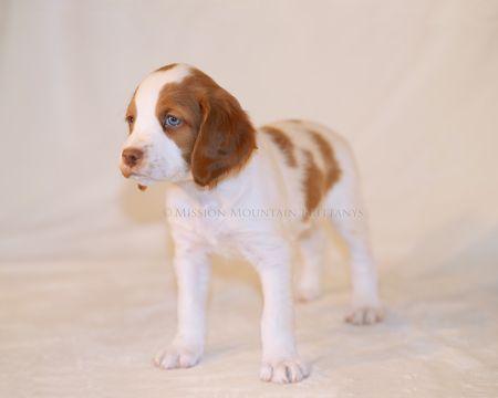 Brittany Puppy For Sale In Condon Mt Adn 48391 On Puppyfinder