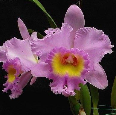 Cattleya Mahina Yahiro Cattleya Orchid Cattleya Orchids