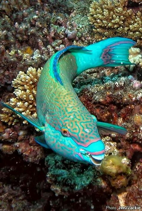 Coral can't live without parrotfish! These beautiful fish help keep Caribbean coral reefs growing by grazing on algae that can smother them. Underwater Creatures, Underwater Life, Beautiful Sea Creatures, Animals Beautiful, Colorful Fish, Tropical Fish, Parrot Fish, Betta Fish, Fauna Marina