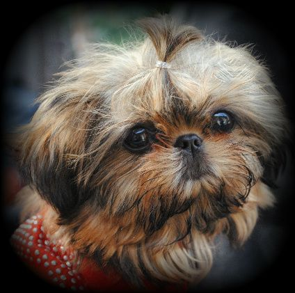 Beauty S Imperial Shih Tzu They Have Such Beautiful Pups