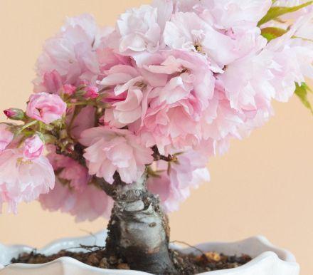 Amazon Is Selling A Grow Your Own Cherry Blossom Bonsai Tree Kit For 13 Cherry Blossom Bonsai Tree Bonsai Tree Bonsai Seeds