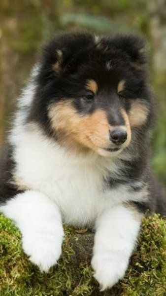 Pin By Fionamoonwolf On Rough Collies In 2020 Shetland Sheepdog