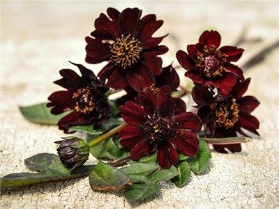 Cosmo Black Magic Heirloom Seeds Flower Seeds Chocolate Cosmos