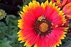 Gallardia Blanket Flower easy to grow bright colored fun Seeds Get it Fast! #flowerfun #flowerseeds #easygrow