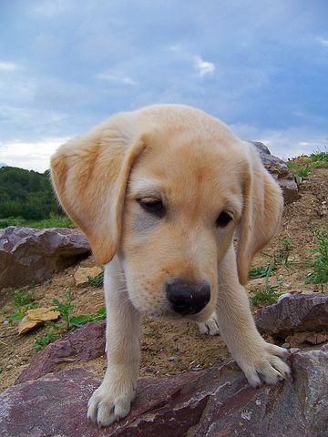 Labrador Puppies Victoria Australia Get It Now