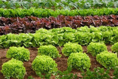 растения компаньоны в огороде