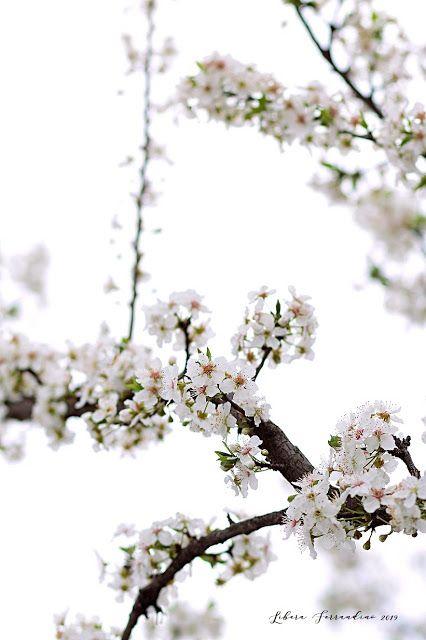 Fiori Bianchi Di Primavera.Fiori Bianchi Di Primavera Food Photographer Libera Ferrandino