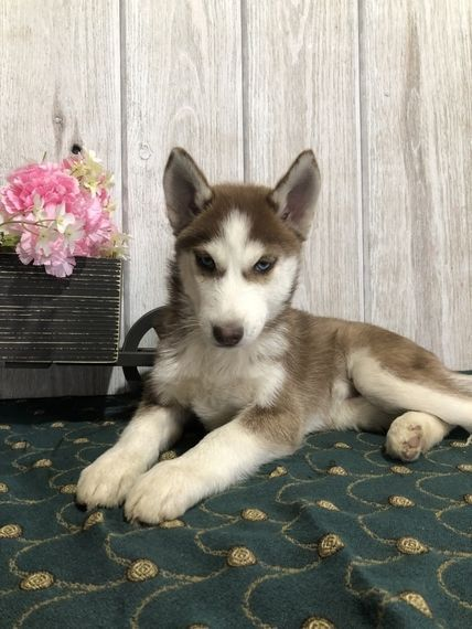 Bailey Kay Is A Female Siberian Husky Puppy For Sale At Puppyspot