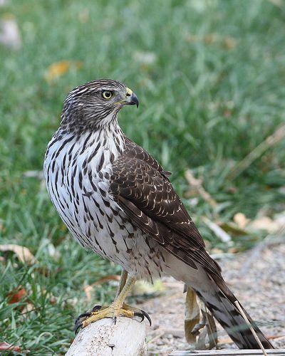 Cooper S Hawk Cooper S Hawk Little Birds Bird Photo