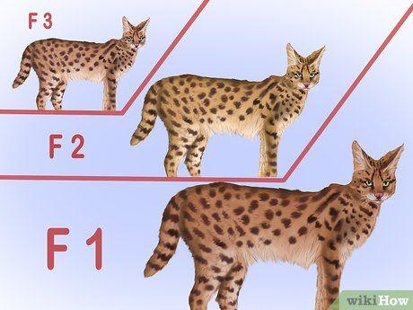 Identify A Savannah Cat Savannah Chat Savannah Cat Savannah