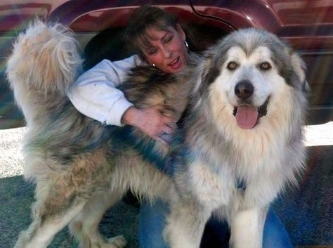 Dog Ready For Adoption Alaskan Malamute Great Pyrenees Named