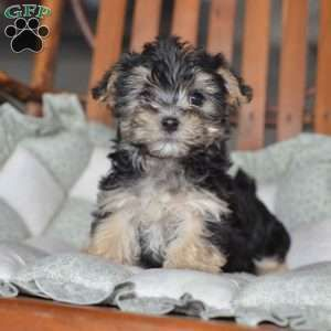 Morkie Puppies For Sale Yorktese Puppies Morkie Puppies Puppies Cutest Small Dog Breeds