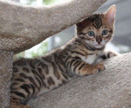 Bengal Cats Bengal Kitten Bengal Cat Asian Leopard Cat