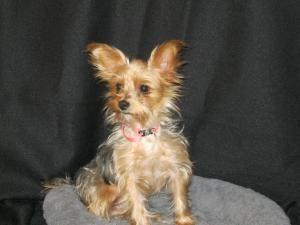 Sunny Is An Adoptable Yorkshire Terrier Yorkie Dog In Winnebago Mn Sunny Is A Sweet Little 7lb Yorkie Mix We Th Cute Puppy Breeds Yorkie Puppy Puppy Breeds