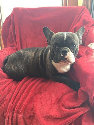 Millersburg Oh French Bulldog Meet Elvis A Pet For Adoption