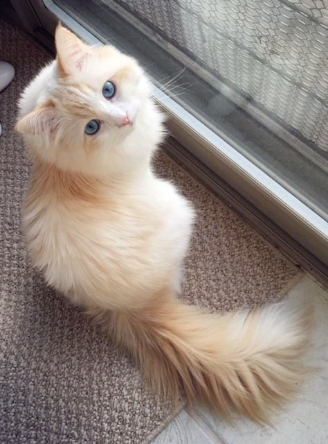 Beautiful Cat Looking At The Camera Pretty Cats Kittens Cutest Cats