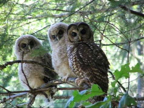 Spotted Owl Family. Photo by Jim Thrailkill, USFWS