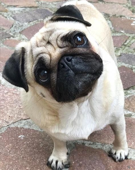 Who Is It Cute Little Animals Dogs Pugs And Kisses