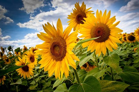 Sunflowers by Fernanda Rodrigues on 500px