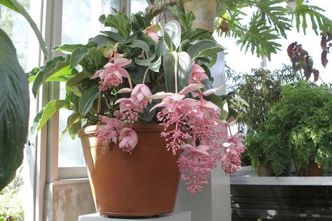 Martha Stewart: This is one of my medinilla magnifica. Dangling in clusters, the blossoms are true to its name - magnificent!