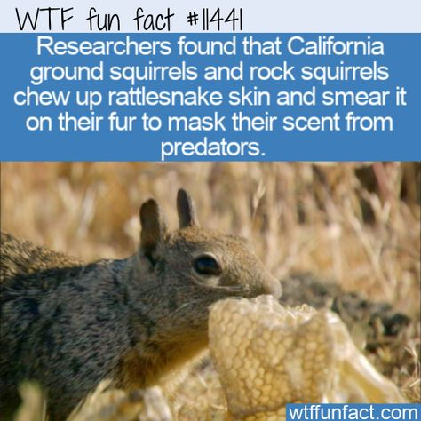 WTF Facts : funny, interesting  weird facts WTF Fun Fact - Sneaky Squirrels #wtf #funfact #wtffunfact 11441 #Animals #Californiagroundsquirrel #funnyfacts #randomfact #randomfacts #randomfunnyfact #rocksquirrel #snakeskin #wtffunfact