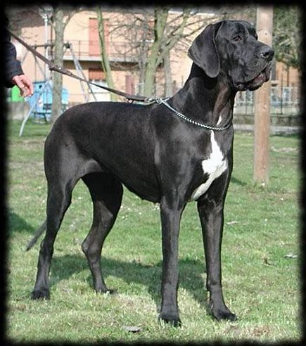 Great Danes Are Very Calm And Affectionate Dog Lovers Great