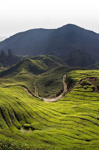 Tea Plantation, Brinchang, Cameron Highlands, Malaysia