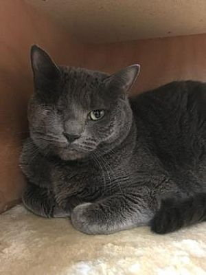 Pictures Of Ziva Westhampton A Domestic Shorthair For Adoption In New York Ny Who Needs A Loving Home Saving Cat Pets