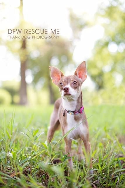 Italian Greyhuahua Dog For Adoption In Denton Tx Adn 330915 On