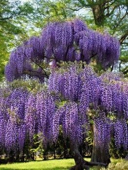 Blue Moon Wisteria Tall Potted Plants