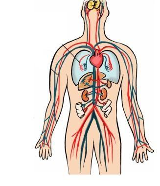Dibujo Del Sistema Circulatorio Humano En Colores Isus Parte Sistema Circulatorio Circulacion Sistemica Sistemas Corporales