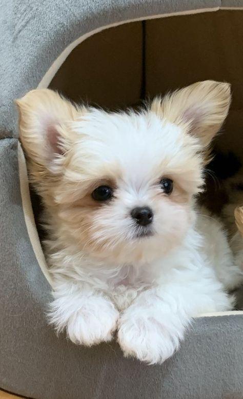 Rare Gem Mi-Kis |Miki.com | Mi-Ki Puppies for Sale