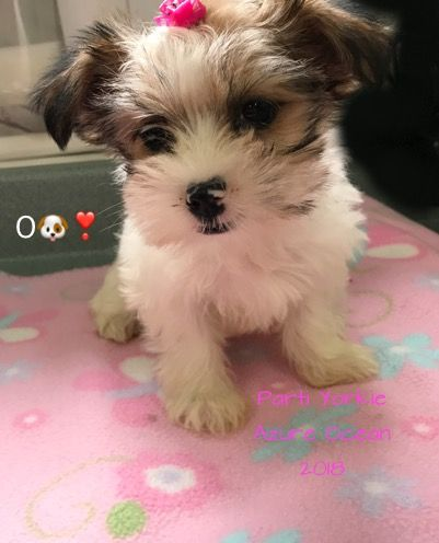 Dog Breeds Breeder Dogs For Sale Puppies For Sale Morkie Puppy