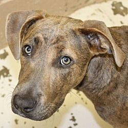 Pet Card Plott Hound Pets Pet Adoption