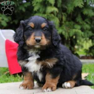 Mini Bernedoodle Puppies For Sale Greenfield Puppies Bernedoodle Puppy Mini Bernedoodle Bernedoodle