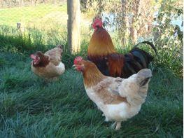 sussex hens for sale melbourne