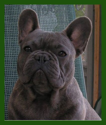 Pin By Jay Skinner On Cute French Bulldog Puppies French