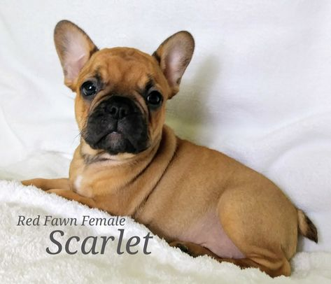 Scarlet A Female French Bulldog Akc Puppy In Lone Tree Colorado