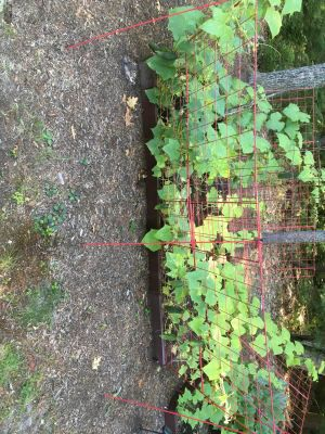c697b4441162251269921f9350e8b2d2 - Gardener's Supply Company Large Cucumber Trellis