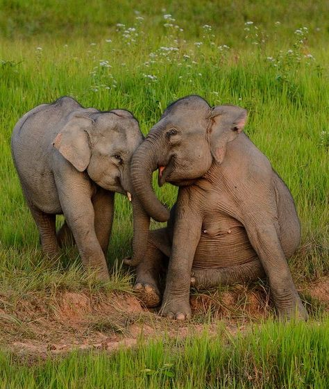 Wild Asian Elephants, Elephas maximus in Khao Yai national park, Thailand. by tontantravel