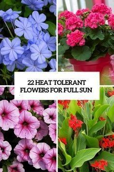 Tolerant Flowers Cover Heat Full For Planting Fertilizing Watering Regularly In 2020 Heat Tolerant Flowers Full Sun Flowers Drought Tolerant Perennials