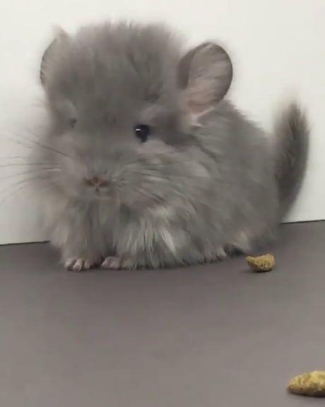A Baby Chinchilla Chinchilla Cute Chinchilla Pet Cute Baby Animals