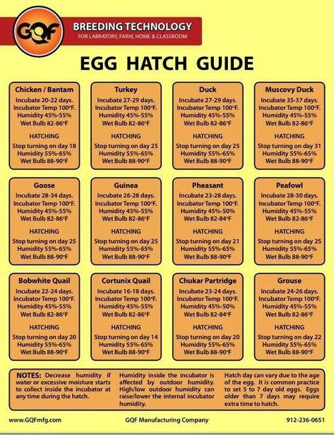 Bb005993220c5a7552c93d8fdbdfaca0 Jpg 620 808 Pixels Chicken Incubator Hatching Chickens Raising Turkeys