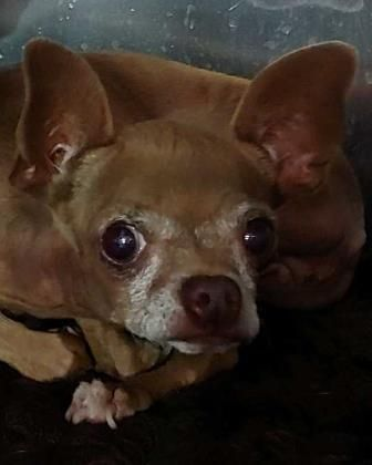 Animal Id T39745131 R Nspecies Tdog R Nbreed Tchihuahua Short